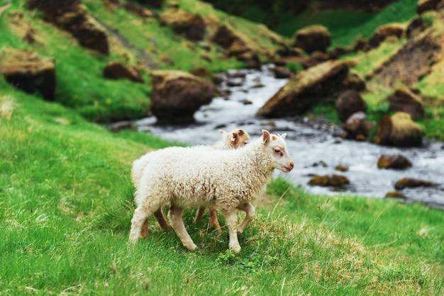 Le pecore islandesi. fantastica vista cascata nel parco nazionale Foto Premium