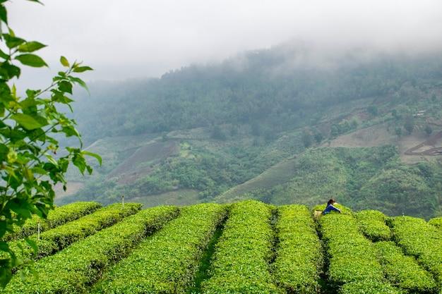Le ragazze stanno raccogliendo foglie di tè sulle colline Foto Premium