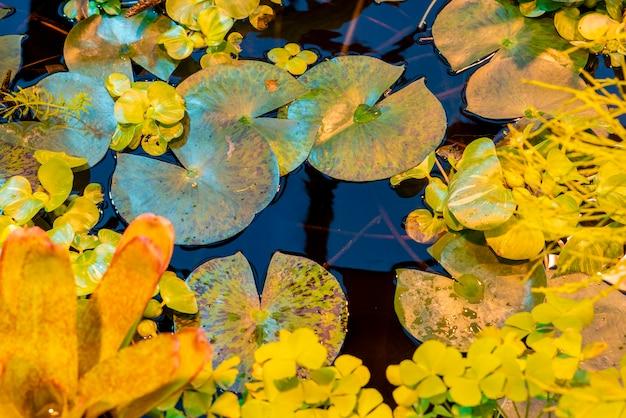 Leas o water lilly victoria cruziana sulla superficie tropicale dell'acqua dello stagno Foto Premium