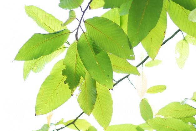 Leaved Sfondo Verde Natura Scaricare Foto Premium