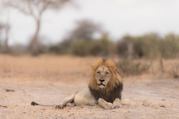 Leone sdraiato per terra Foto Gratuite
