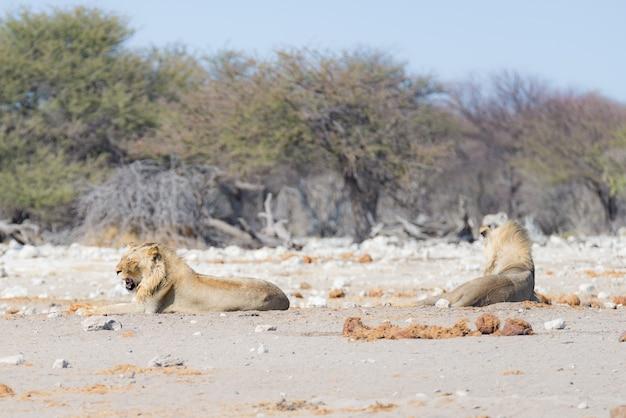 Leoni sdraiati per terra. zebra (sfocato) che cammina indisturbata sullo sfondo. Foto Premium