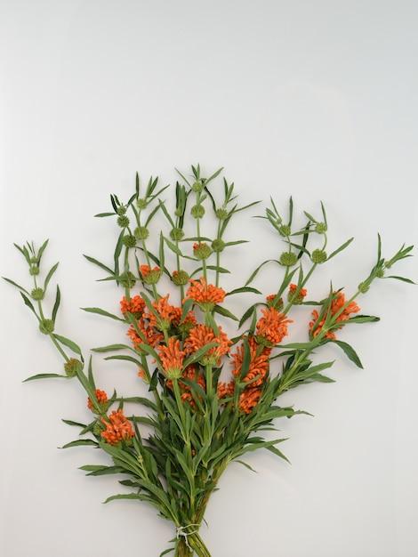 Leonotis leonurus orange su sfondo wite Foto Premium