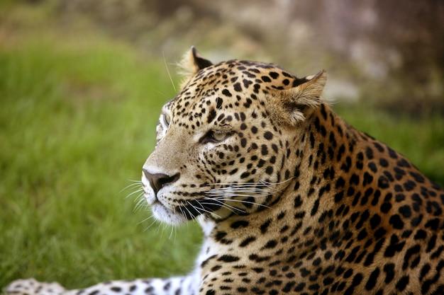 Leopardo africano su erba verde Foto Premium