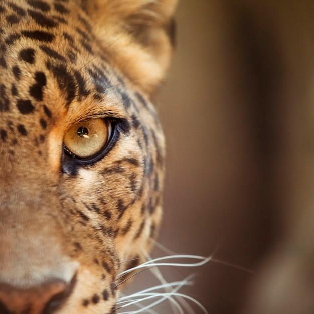 Leopardo Foto Gratuite