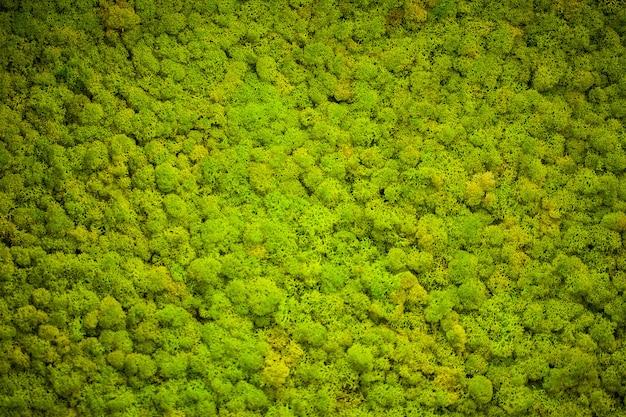 Lichene verde, sfondo muro di muschio Foto Premium