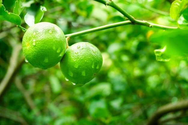 Limone crudo fresco di lime verdi che appende sull'albero con goccia d'acqua al giardino, coltivazione di lime Foto Premium