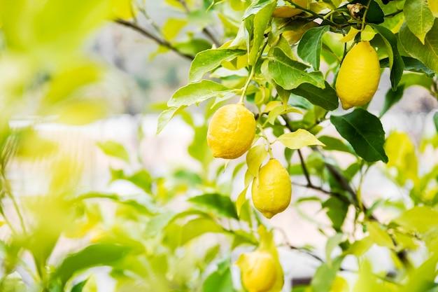 Limone delizioso agrume nell'albero Foto Gratuite