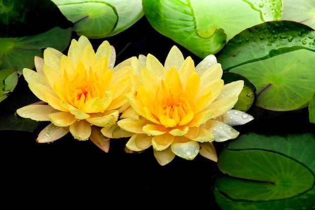 Loto giallo che fiorisce nello stagno. Foto Premium
