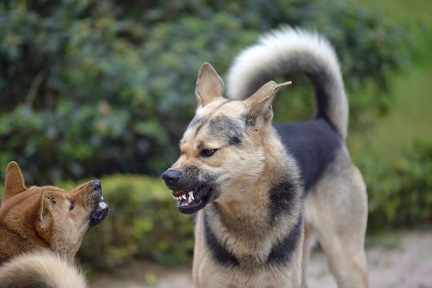 Lotta con i cani Foto Premium