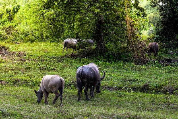 Luce di erba e pascolo di buffalo in piedi nella mattina Foto Premium