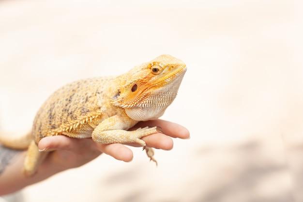 Lucertola iguana colorata brillante gialla che tiene sulla mano Foto Premium