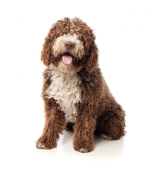 Lunghi capelli cane marrone con la lingua fuori Foto Gratuite