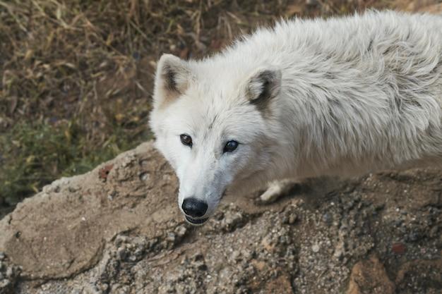 Lupo bianco artico in via di estinzione Foto Premium