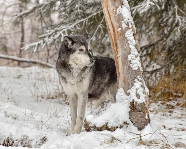Lupo solitario che dà una occhiata al tronco di un albero Foto Premium