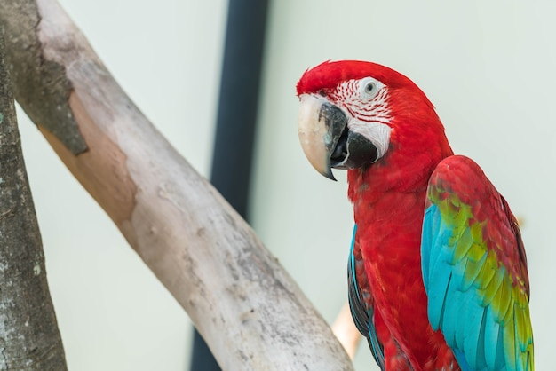 Macau pappagallo Foto Gratuite