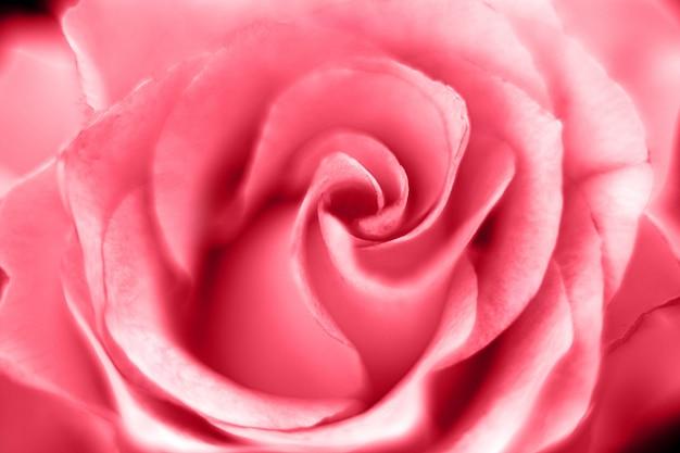 Macro fondo dell'immagine della rosa del fiore di rosa Foto Premium