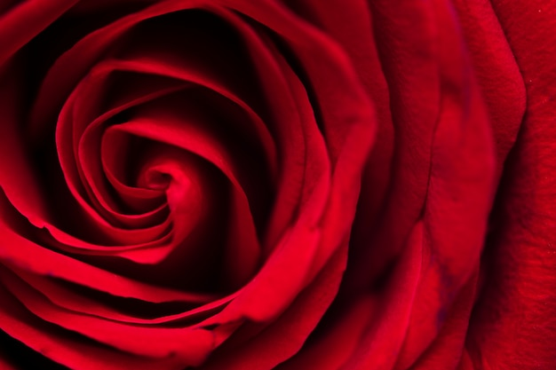 Macrofotografia della rosa rossa Foto Gratuite