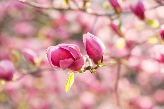 Magnolia rosa di fioritura sulla natura. fiori rosa della magnolia nell'alba Foto Premium