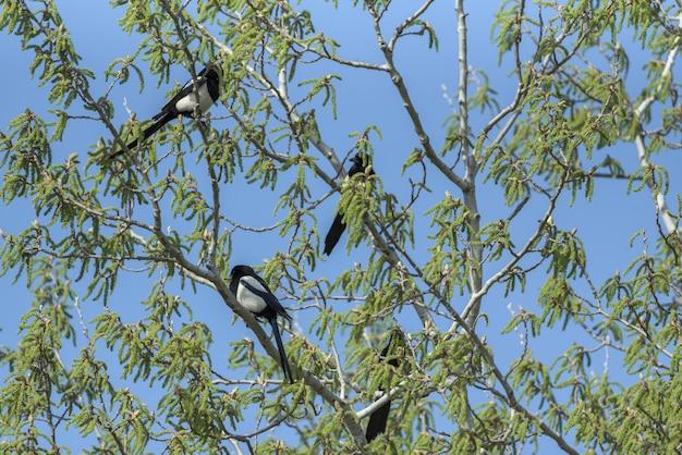 Magpies in cima a un albero con cielo blu sullo sfondo Foto Premium
