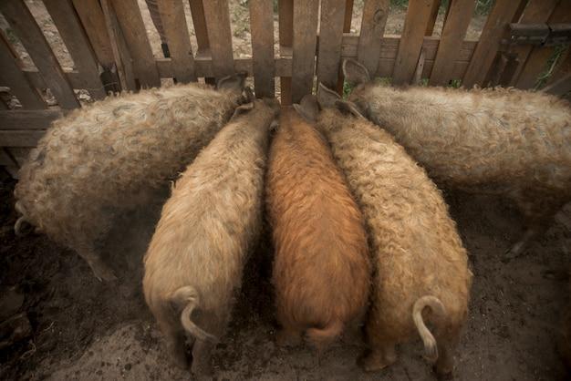 Maiali nel porcile di una fattoria Foto Gratuite