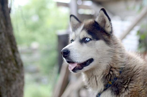 Malamute artico con la fine del ritratto della museruola degli occhi azzurri su. questo è un tipo nativo di cane abbastanza grande Foto Premium