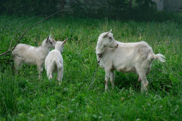 Mamma capra e i suoi bambini nel villaggio Foto Premium