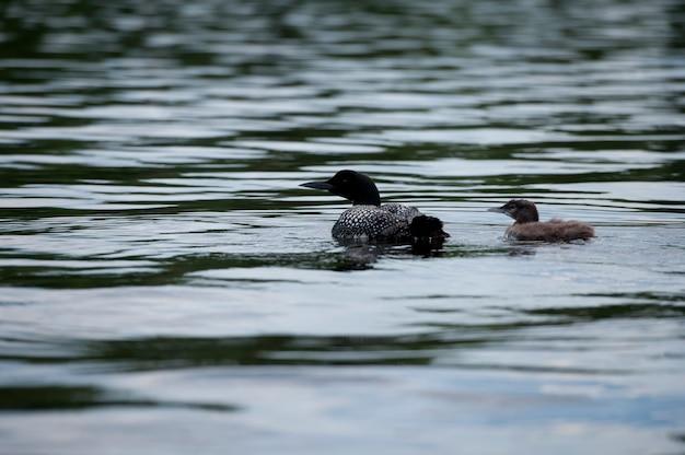 Mamma loon con il suo anatroccolo nell'acqua a lake of the woods, ontario Foto Premium
