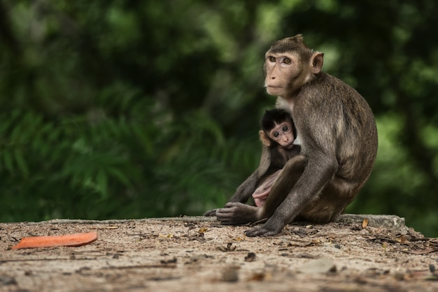 Mamma monky con il bambino alla foresta tailandia Foto Premium