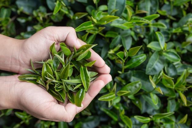 Mani asiatiche della donna della raccoglitrice del tè - ragazza alta e graziosa vicina di raccolto del tè in piantagione. Foto Gratuite
