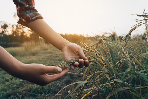 Mani femminili che controllano riso nel campo. Foto Premium