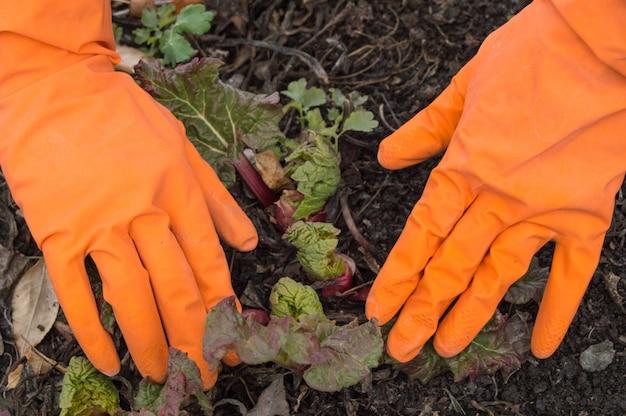 Mani in guanti arancioni che si prendono cura del rabarbaro giovane in giardino Foto Premium