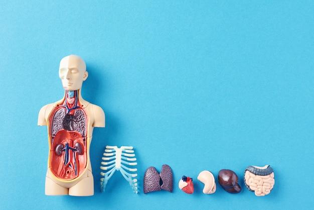 Manichino anatomia umana con organi interni su una superficie blu Foto Premium