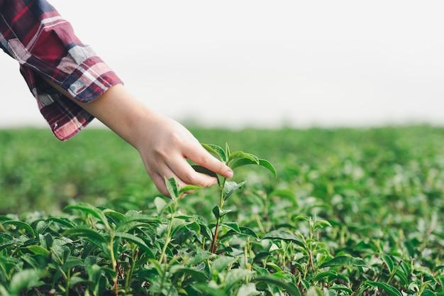 Mano asiatica della donna che prende le foglie di tè dalla piantagione di tè, i nuovi tiri Foto Premium