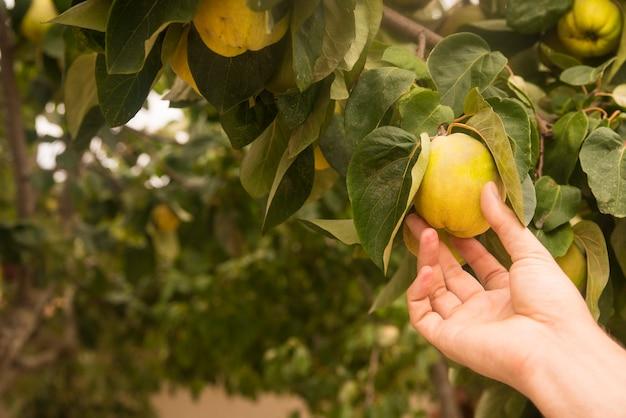 Mano che tiene cotogna di pera gialla, frutti naturali e biologici Foto Gratuite