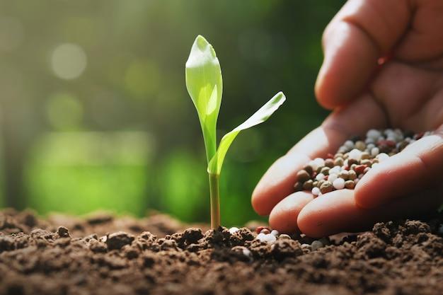 Mano del contadino stanno versando fertilizzanti chimici per mais giovane in fattoria Foto Premium