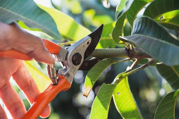 Mano di giardiniere potatura alberi con cesoie di potatura. Foto Premium