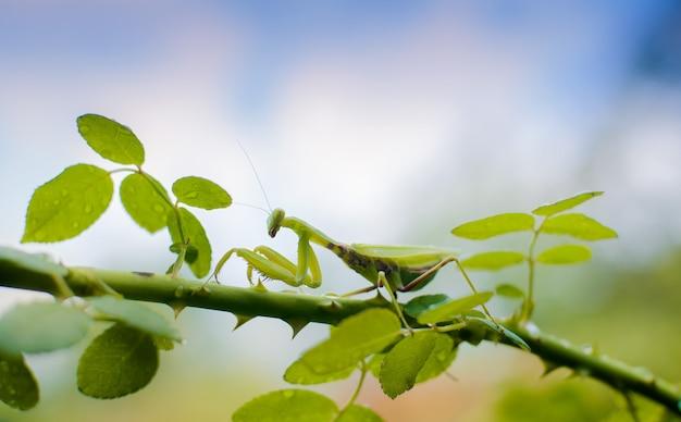Mantide della famiglia sphondromantis in agguato sulla foglia verde Foto Premium
