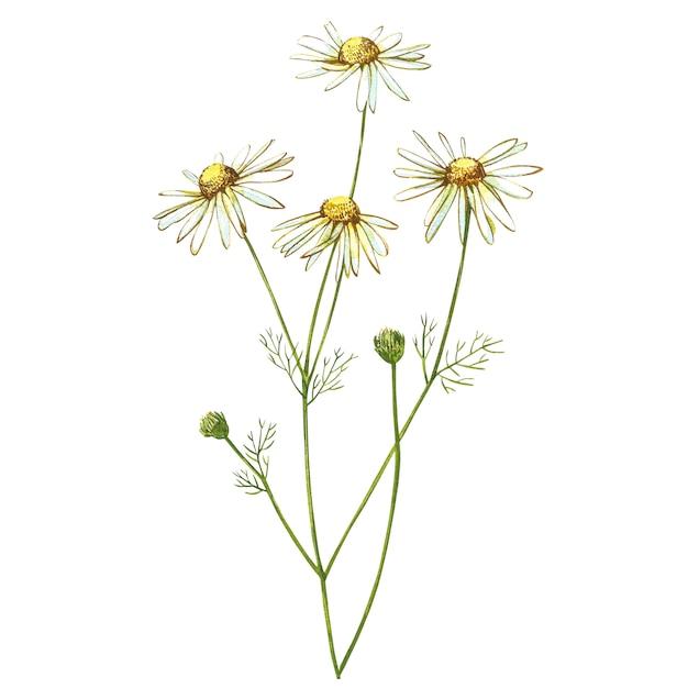 Mazzi di camomilla o margherita, fiori bianchi. schizzo botanico realistico Foto Premium