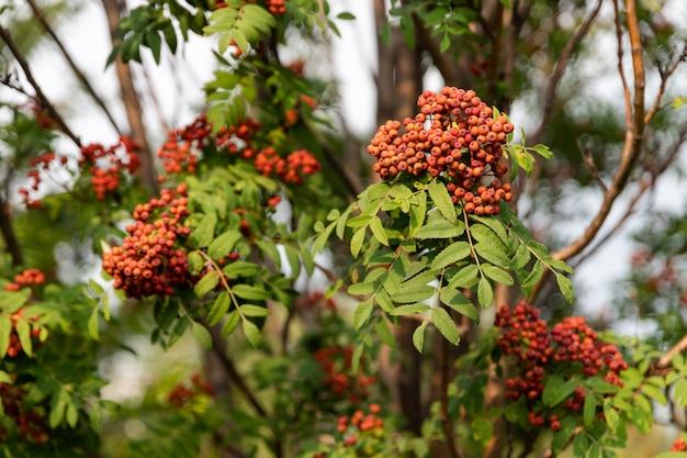 Mazzi di sorbo che crescono su un ramo con fogliame verde Foto Premium
