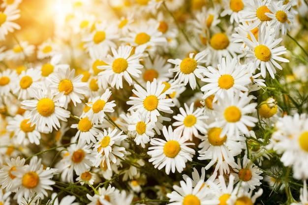 Mazzo di camomilla alla luce del sole. mattina d'estate. sfondo carino naturale. Foto Premium
