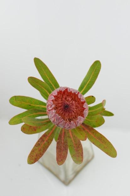 Mazzo rosso del fiore del protea su un fondo isolato bianco Foto Premium