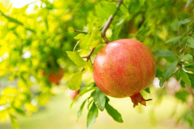 Melograno maturo sull'albero Foto Premium
