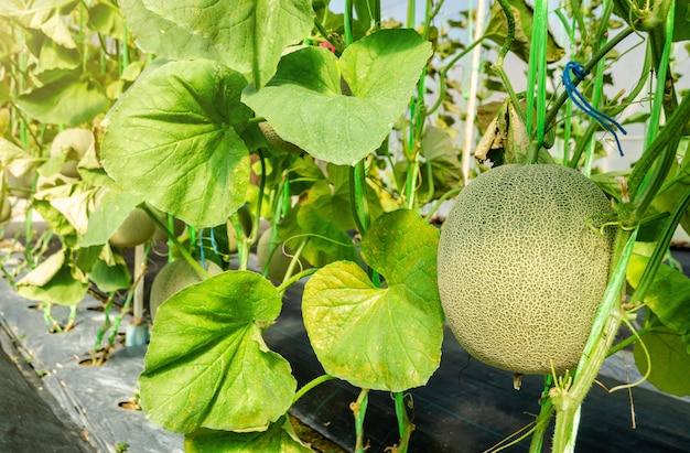 Melone o frutta del cantalupo sul suo albero Foto Premium