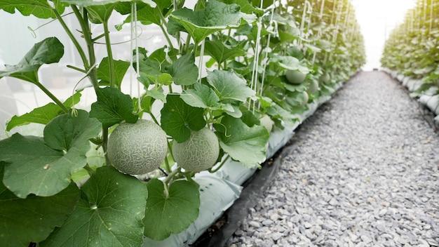 Melone verde organico del cantalupo che cresce nell'azienda agricola della serra. Foto Premium