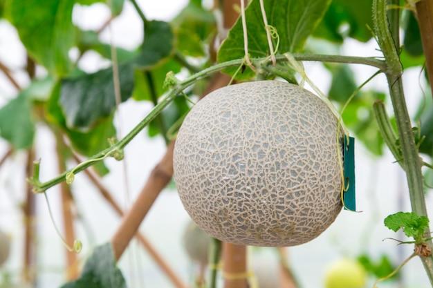 Meloni cantalupo che crescono in una serra sostenuta da reti di melone a corde. messa a fuoco selettiva Foto Premium