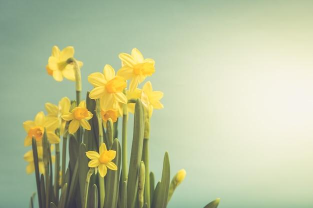 Merce nel carrello gialla stupefacente dei fiori dei narcisi. immagine per sfondo di primavera Foto Premium