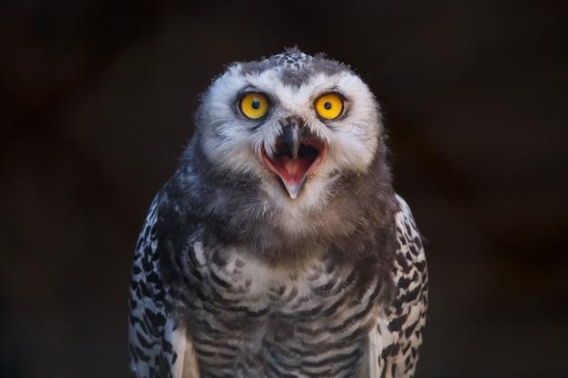Micrathene whitneyi, il gufo gufo o il gufo nano con la bocca aperta mentre urla. Foto Premium