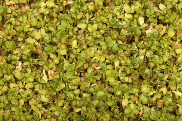 Micro verdi. semi di senape germogliati sul tappeto di lino come sfondo. Foto Gratuite
