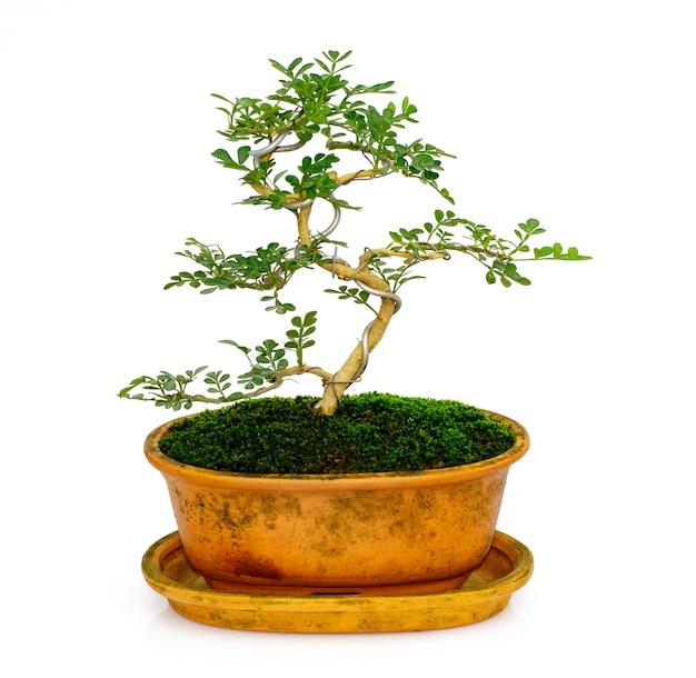 Mini bonsai in vaso su bianco Foto Premium